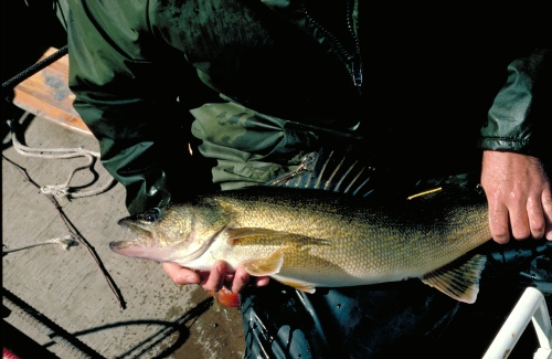 Some michigan fish safe for pregnant women sometimes for Safest fish to eat 2017