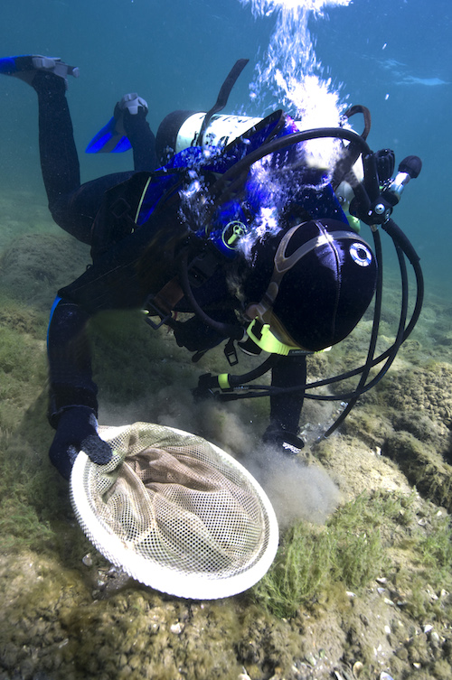Diver setting trout egg traps